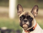 French Bulldog Face