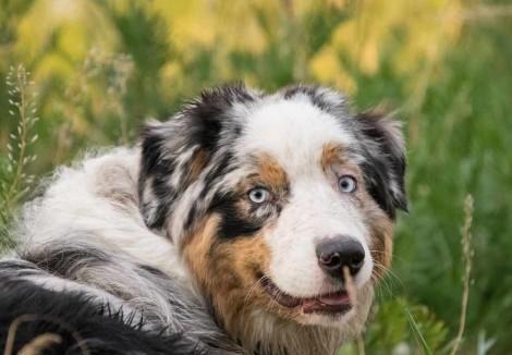Australian Shepherd Face