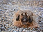 Tibetan Terrier Sitting
