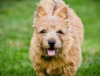 Adult Norwich Terrier