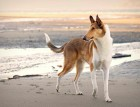 Adult Smooth Collie