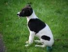 Lurcher Puppy