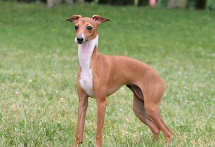 Italian-Greyhound.jpg