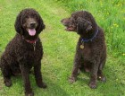Two Irish Water Spaniels