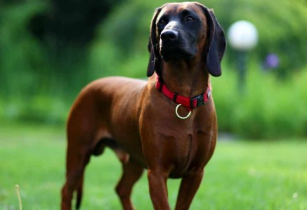 Adult Bavarian Mountain Hound