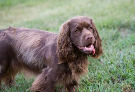 Adult Sussex Spaniel
