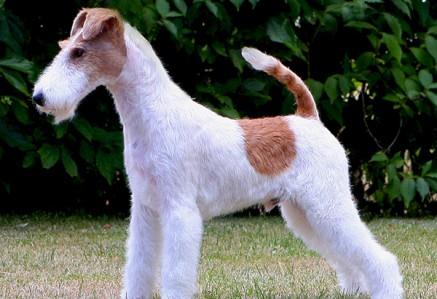 Fox-Terrier.jpg