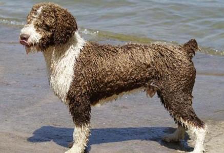 Spanish-Water-Dog.jpg