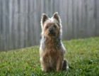 Adult Australian Silky Terrier