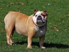 Senior English Bulldog