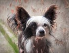 Adult Chinese Crested