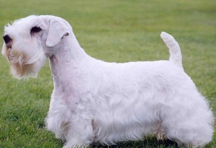 Sealyham-Terrier.jpg