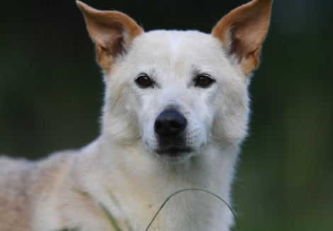 Adult Canaan Dog