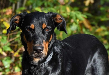 Beauceron Face