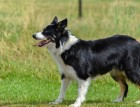 Adult Border Collie
