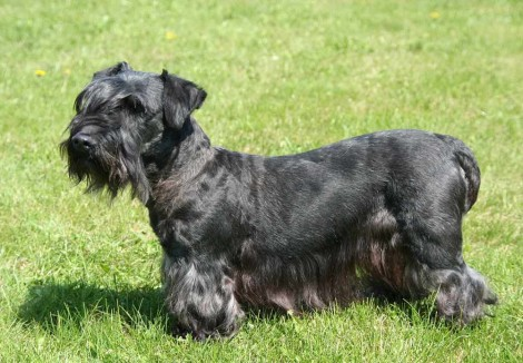 Adult Cesky Terrier