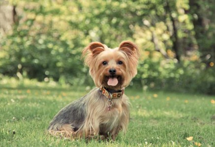 Young Australian Silky Terrier