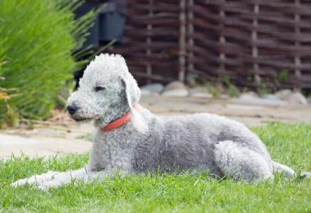 Bedlington Terrier in Garden