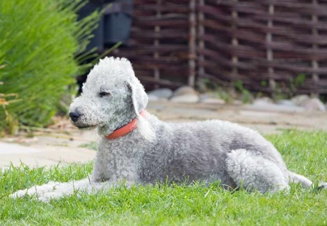 Bedlington Terrier in Garden
