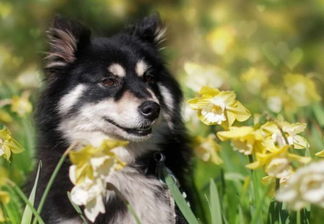 Finnish Lapphunds Face