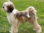 Tibetan Terrier