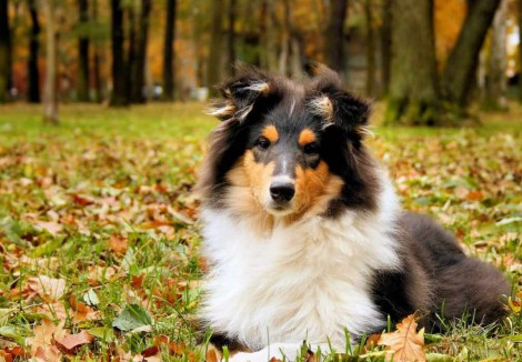 Young Rough Collie