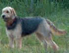Adult Otterhound