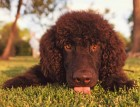 Irish Water Spaniel Face
