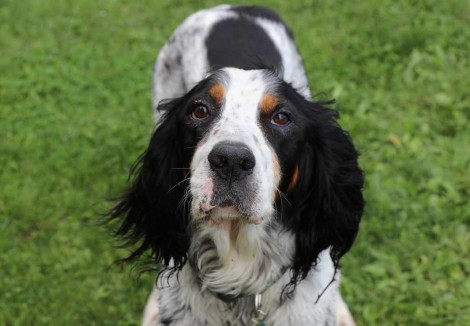 English Setters Face