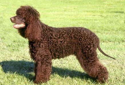Irish-Water-Spaniel.jpg