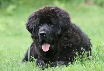 Black Tibetan Mastiff
