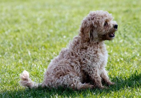 Cockapoo in a Park
