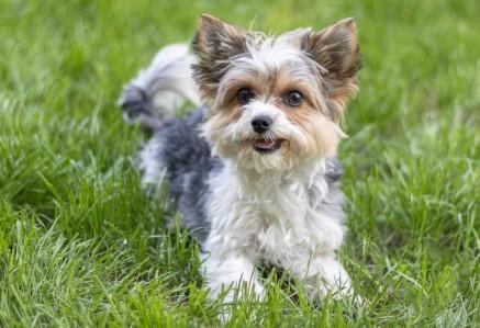 Adult Biewer Terrier