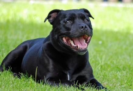 Adult Staffordshire Bull Terrier