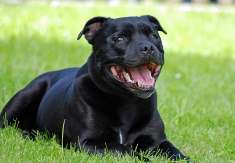 Adult Staffordshire Bull Terrier