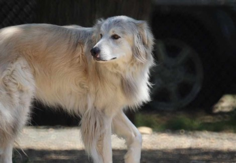 Adult Pyrenean Sheepdog