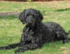 Adult Portuguese Water Dog