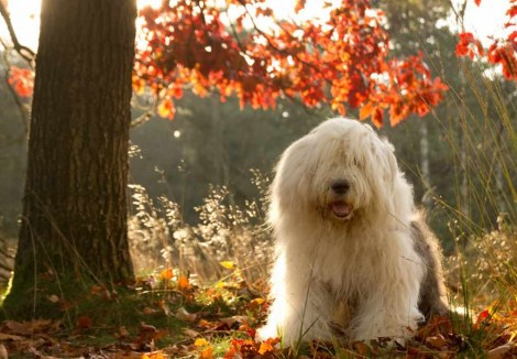 Adult Old English Sheepdog