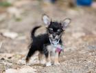 Little Chorkie Puppy