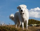 Adult Maremma Sheepdog