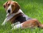 Adult Foxhound