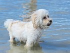 Poochon In Water