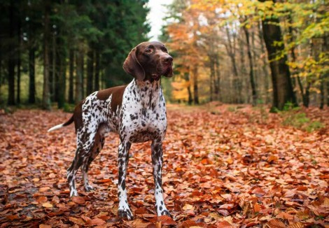 Adult Pointer