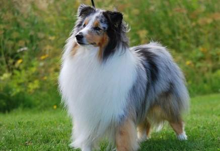 Shetland-Sheepdog.jpg