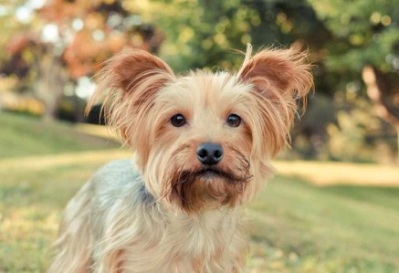 Australian Silky Terriers Faces