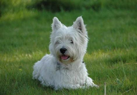 Adult West Highland Terrier