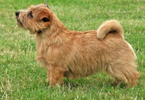 Senior Norfolk Terrier