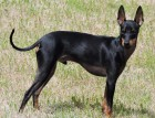 Adult Manchester Terrier