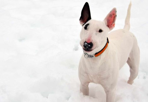Adult English Bull Terrier