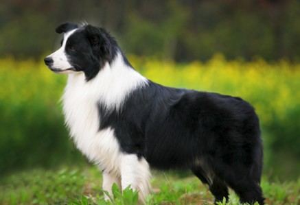 Border-Collie.jpg